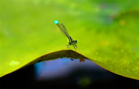 Damselfly on Lilly Pad