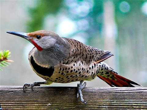 Male Flicker Deck-2