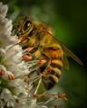 Honeybee Worker Gathering Nectar