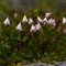 Twinflower (Linnea borealis).