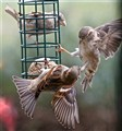 Sparrow Fight