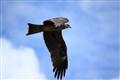 majestic.. a Black Kite takes a low flight