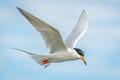 Tern in Flight-6462