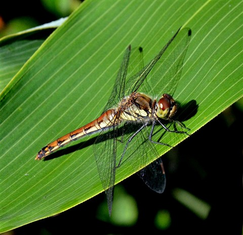 dragon fly 120904_0009_DSC_6948_i