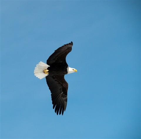 Eagle in Flight-3259999