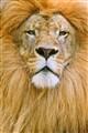 lion_4093