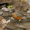 Pana G3 bird_robin_20110916_054