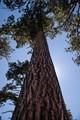 Towering Taos tree