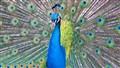 peacock2
