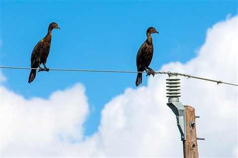 Cormorants on the HighWire (Phalacrocorax auritus)