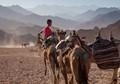 Camel trip in Sinai