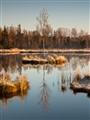 Refleceted birch