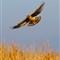 Hawk over marsh  _MG_5535