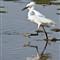 IMG_6862ccRunning Egret