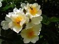 Himalayan Musk Rose