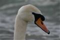 Swan Face 1