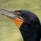 eeee  2 Z 50  G Cormorant JUN_5536June 2021 Deep PRIMDxO