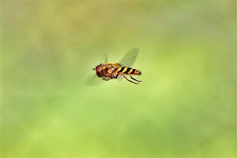Hoverfly4