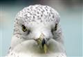 Gull Staredown