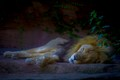 Sleeping Lion-1390