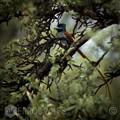 Paradise-Flycatcher1