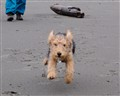 Crazy terrier puppy