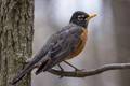 American Robin on Thin Branch