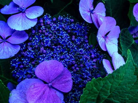 hydrangeas blue/green