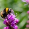 Bumblebee_extracting_nectar-1