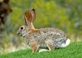 While golfing in Arizona there were a number of these Desert Cottontails nibbling on the grass on the course.