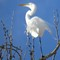 Egret Standing Tall On A Clear Day - IMG_6929