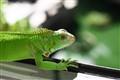 my pet iguana 'Rambo'