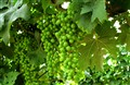 Summerleaves and grapes