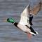 Duck 1 021012