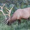 8X7-Canadian-Elk1