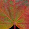 Fall Sugar Maple 2