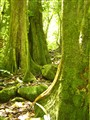 Hollow trees in Moorea found in the rainforest