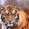 100_0013_3 Siberian Tiger