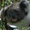 koala_pic