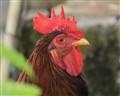 Rooster - Trinidad&Tobago