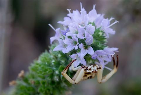 crab_spider_1