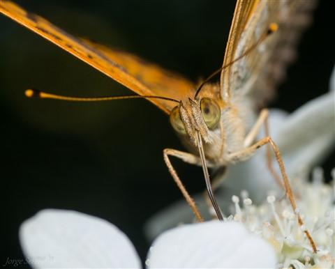 vlinder parelmoet vooraanzicht 2