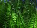 rising fern