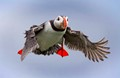 Atlantic Puffin on final approach to burrow