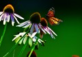 .....the butterfly.....