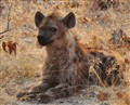 Watchful young hyena