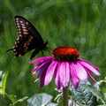 Butterfly and Coneflower