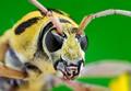 Yellow Longhorn Beetle