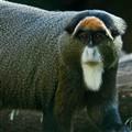 De Brazza's Monkey-11-20-09