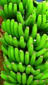 Bananas in Canary island